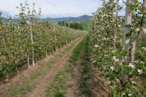 fioritura-mele-la-saporita01