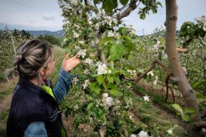 fioritura-mele-la-saporita03
