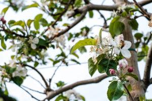fioritura-mele-la-saporita04