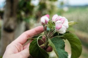fioritura-mele-la-saporita06