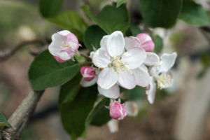 fioritura-mele-la-saporita07