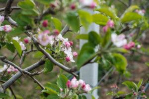 fioritura-mele-la-saporita09