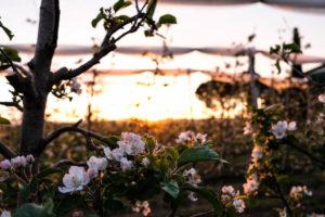 fioritura-mele-la-saporita10