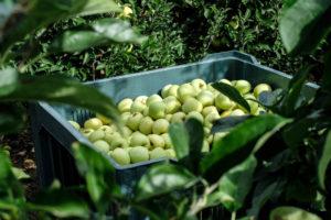 raccolta-mele-la-saporita-07